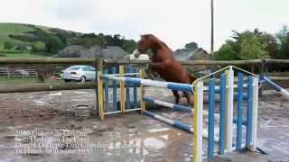 2010 unbroken Gelding by Harelquin Du Carel
