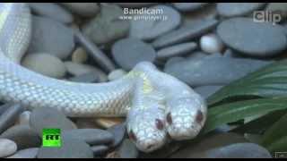 【開運を呼ぶ】双頭の白ヘビ thumbnail