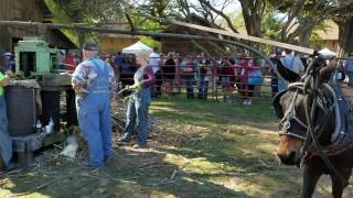 Crushing Sugarcane with Mule Power @ The Syrup Festival in Henderson, Texas 2016