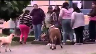 Goat hitting people, dog faking an injury / funny videos/funny animals /lol/ funny clips