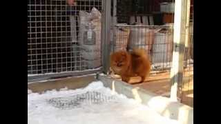Pomeranian Male Chester Charming Iz Knyaginino, Red Color! Age 8 Months (2)