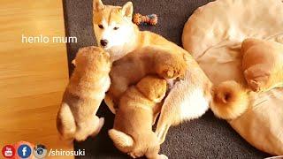 モコモコふわふわころころりん。転げまわって遊ぶ柴犬の赤ちゃんたちをただ愛でるの動画