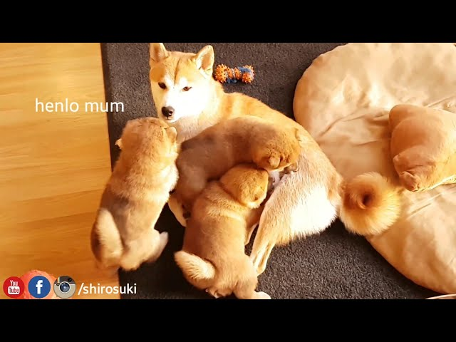 My life is potato. Ep 02 / Shiba Inu puppies