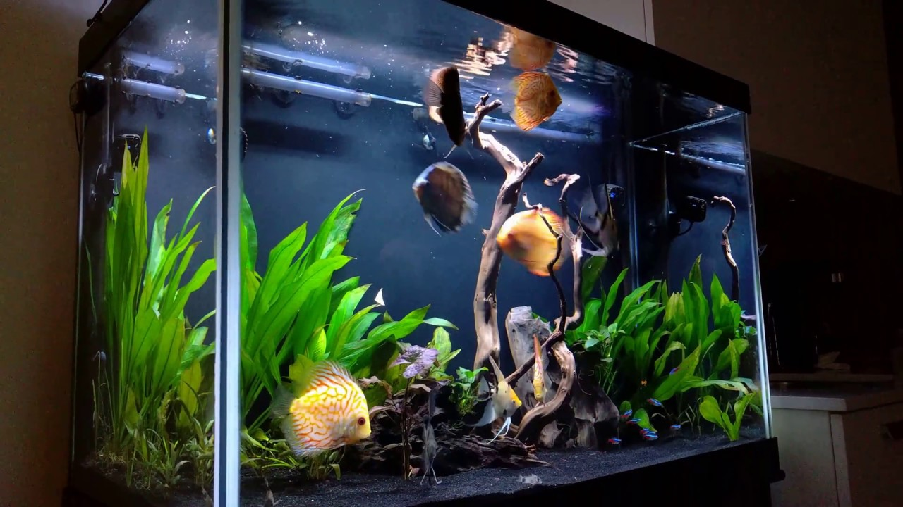 65 Gallon Discus Community Tank: First Footage Of 2017