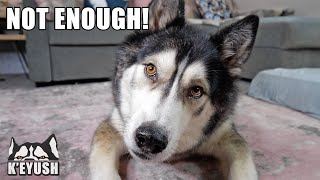 Arguing With My Husky About How Much Food He Should Have!