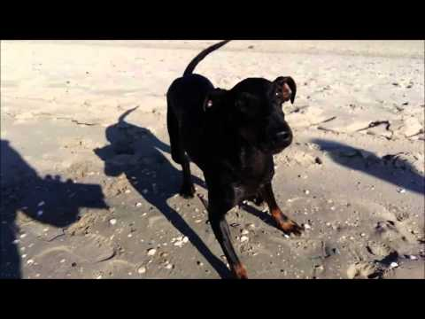 Chester the Manchester Terrier and the autumnal sea