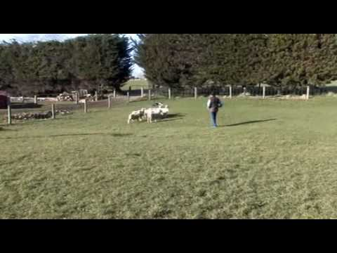 Pip on a small mob of lambs