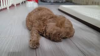 광주 강아지 분양 광주 애견샵 분양 토이푸들 분양 초보…
