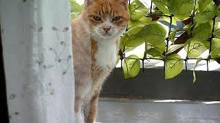 入れない猫~こわいお姉さんがいるから Cat would not enter when door is open thumbnail