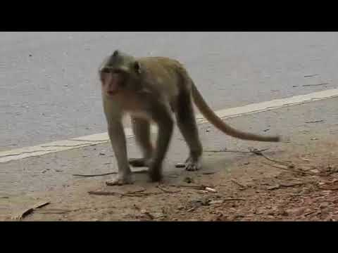 Wow! Gangster Monkey Wants To Steal Food From Visitor, Bad Youngster Monkey Life, Monkey R