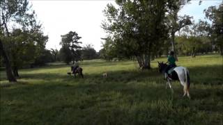 Tennessee Walkers, Paso Finos And Spotted Saddle Horses On The Trail Training