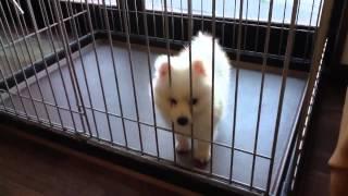 日本スピッツの子犬販売。 純白のふさふさとした毛の男の子です。 テデ...