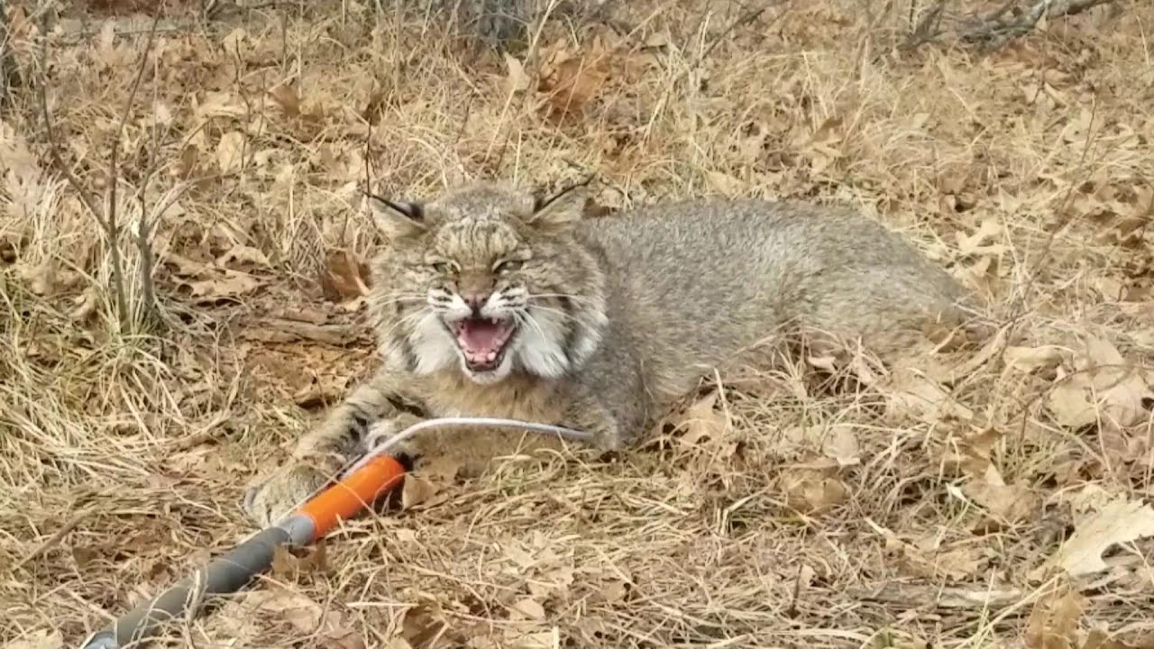 Download Bobcat Chases Me Into My Jeep!