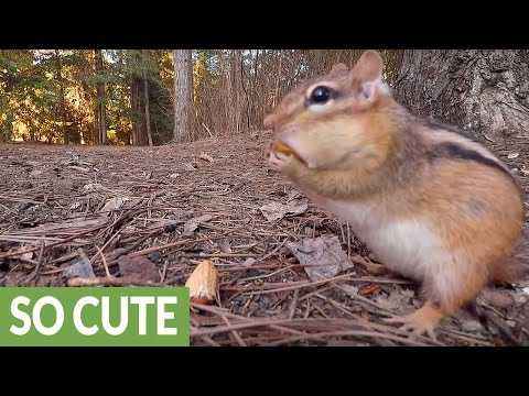 Hidden GoPro captures chipmunk feasting on peanuts