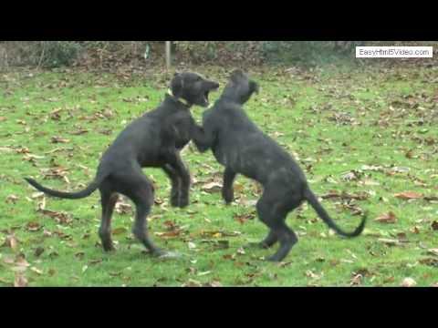 Amazing litter v.d. Flevomare Deerhounds - week 12
