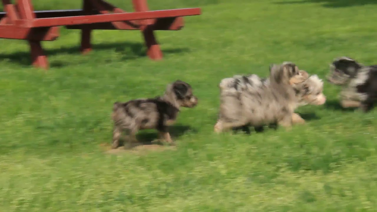 Mini Aussiedoodle Puppies For Sale Youtube