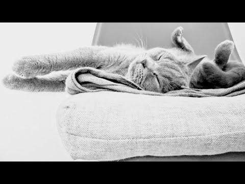 Вопрос: Какая порда кошек лучше для семьи британская или шотландская?