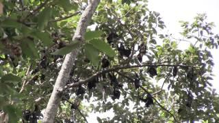 カンボジア シェムリアップ ロイヤルガーデンの大コウモリ