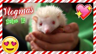 VLOGMAS #17: Poznajcie Lusię - jeża pigmejskiego :) Kolejny etap! | Cookie Mint