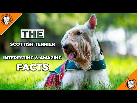 SCOTTISH TERRIER - Dog Breeds 101 - Top Dog Facts About the SCOTTISH TERRIER