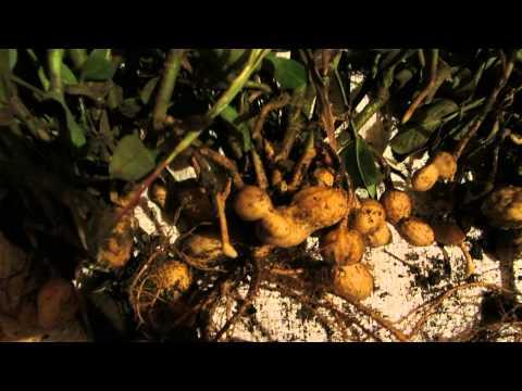синтетики подойдет как вырастить арахис на даче видео отстирать
