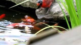 おやつをどうぞ。池に遊びに来る鳥、金魚におやつをおすそわけ