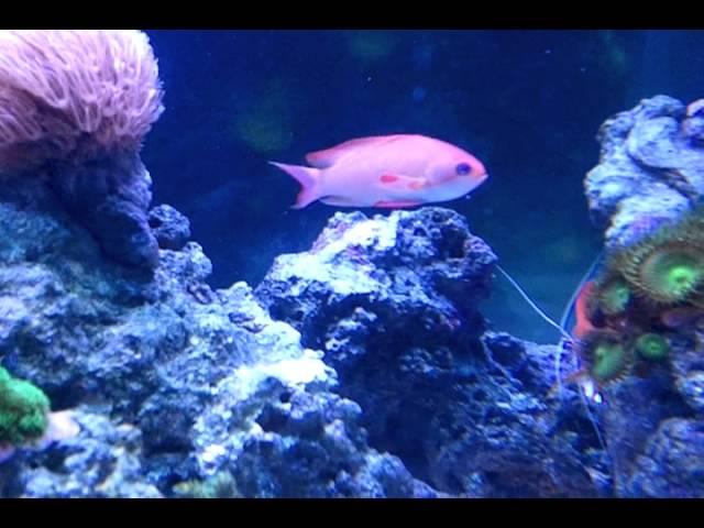 Cleaner Shrimp & Anthias