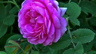 Beautiful Pink Rose Flower Video Close Up