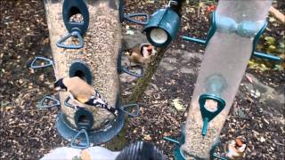 Wild Birds Feeding In Garden. 22/10/2014.