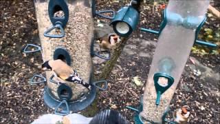 Wild Birds Feeding In Garden. 22/10/2014.