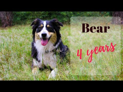 BEAR | Australian Shepherd | Tricks & Adventures
