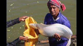 Big Chitol Fish and Carp Fish Catching With The Fishing Net