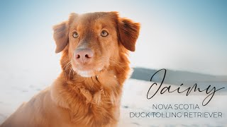 Nova Scotia Duck Tolling Retriever  Jaimy
