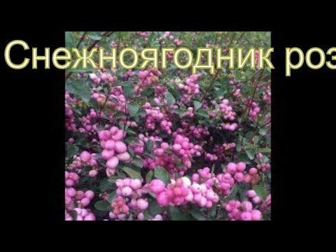 Лучший кустарник для двора загородного дома с ягодами: снежноягодник розовый Шено
