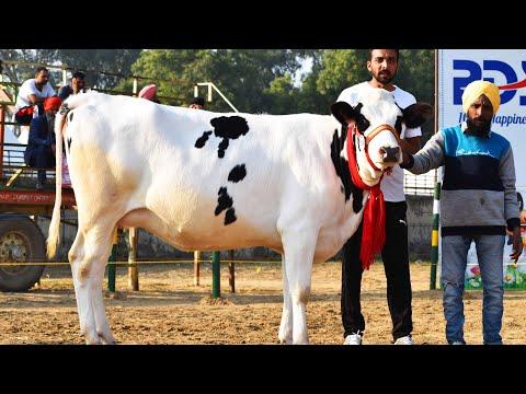 Fine Quality Holstein Friesian Heifer