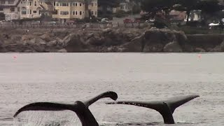 7.31.15 Humpback Whales #BigBlueLive #Monterey #Travel #Adventure