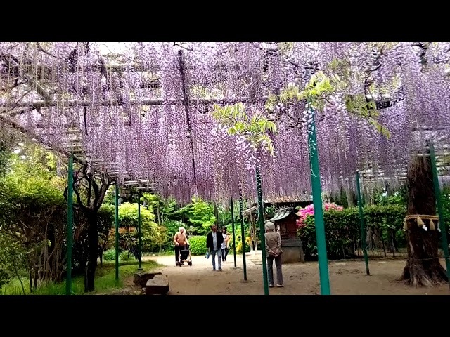 明石魚住 住吉神社の藤の花