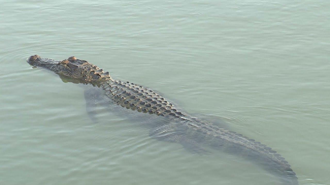 Alligators of the Valley 2