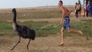 Страус убегает из зоопарка