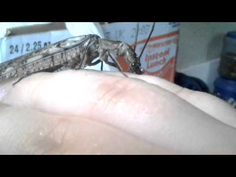 Handling the adult female Dobsonfly