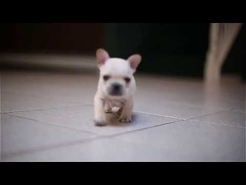 FRENCH BULLDOG PUPPY 'VERSACE' AT 4 WEEKS OLD !!!