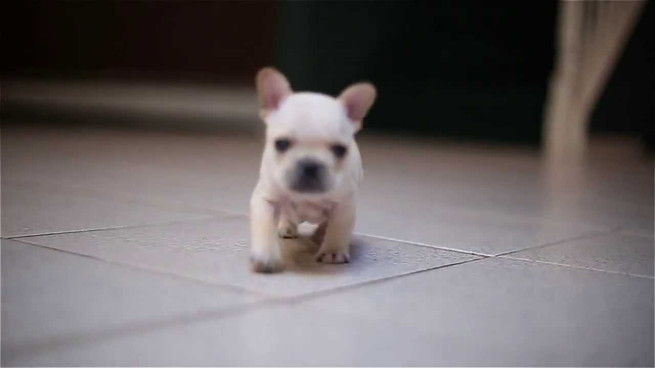 "french bulldog puppy ""versace"" at 4 weeks old !!!"