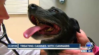 CSU researchers studying effectiveness of CBD for treating arthritis and epilepsy in dogs