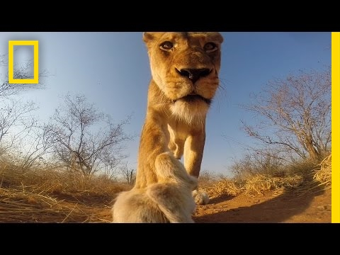 POV: If A Lion Bit You, Here's What You'd See   National Geographic