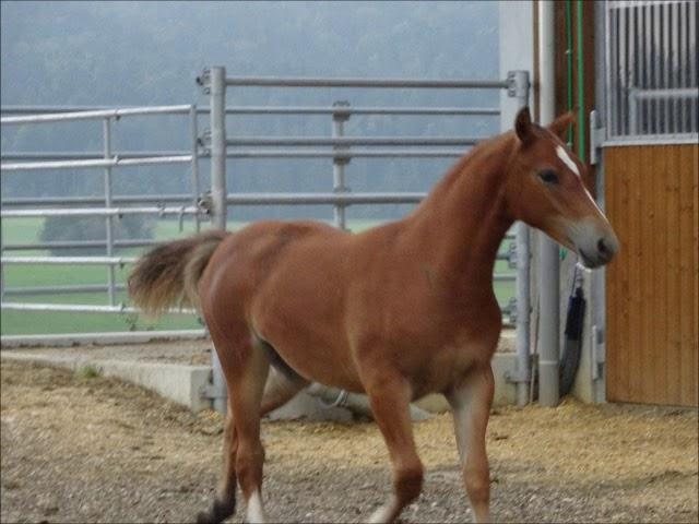 Pouliche baie FM Calista (chevaux) 24363613