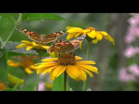 Бабочки опыляют цветы