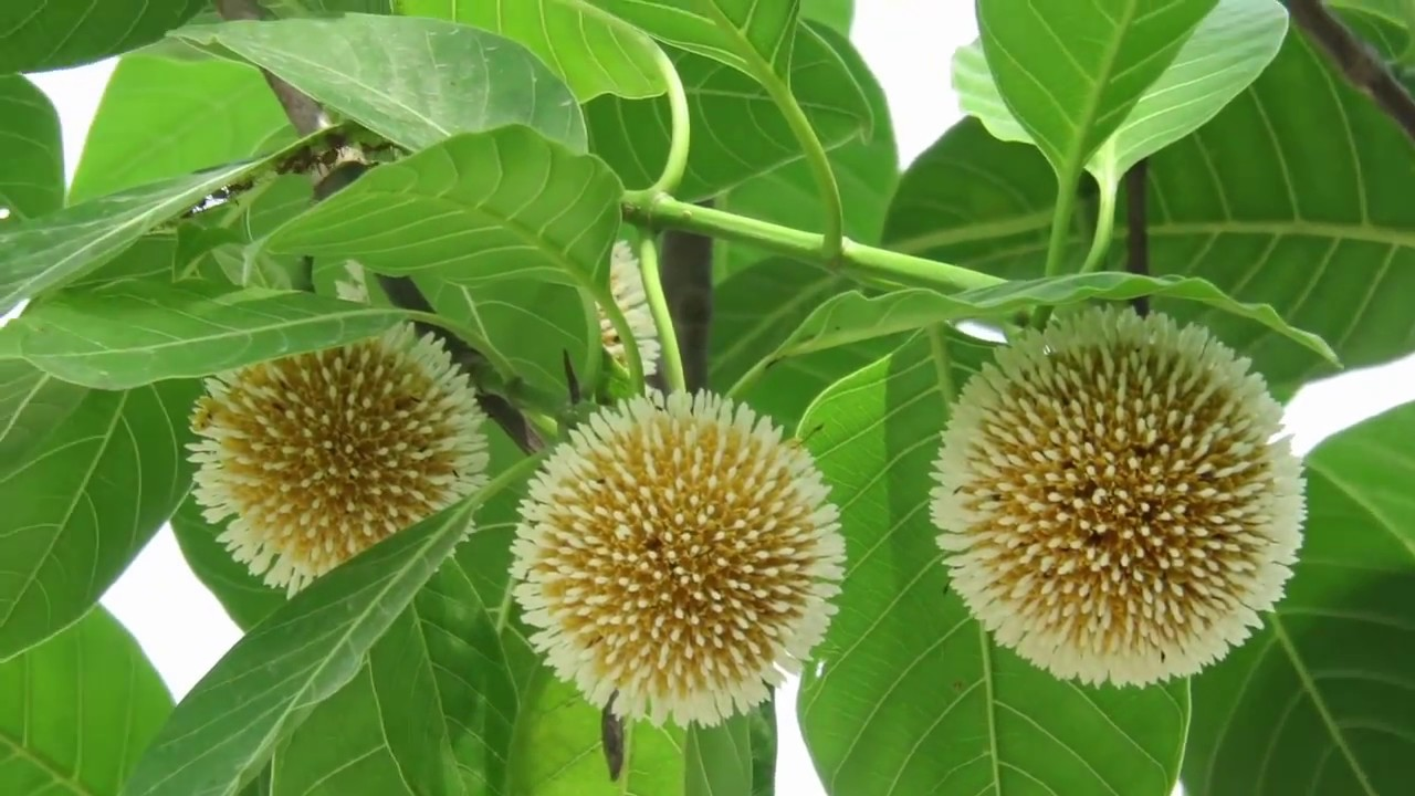 Kadam Tree Neolamarckia Cadamba In Full Bloom Youtube
