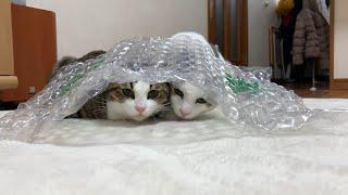 ちょうどいいところで邪魔する猫 【今日のひのき猫】