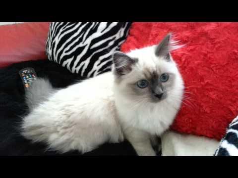 Beautiful blue eye birman kitten (SOPHIE )