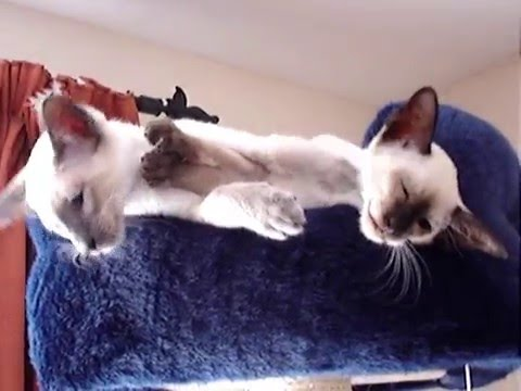 Molly and Charlie the Siamese Cats Compilation Vid